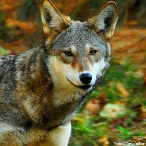 Speak Out For Red Wolves  There are no more than 60 red wolves in the wild, down from almost 150.