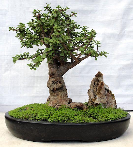 Bonsai cerezo japones cuidados bonsai 1 pinterest - Cuidado del bonsai ...