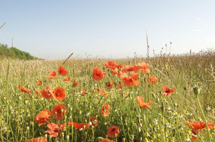 Poppies in the Poppy Field