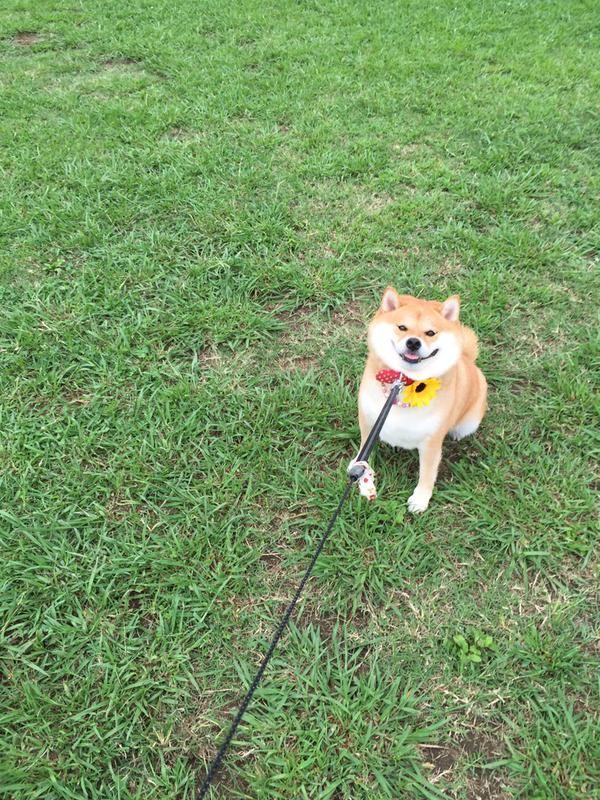 柴犬のワガママな一日wwwwwwwwwwwwwww