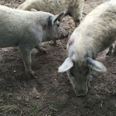 Sane and happy pigs at the #fuglebjerggaard - I had the best organic food at Danish chef @camillaplum farm - she is a fantastic eco-farmer and source of inspiration.  The farm north of Copenhagen is worth a visit for fresh vegetables, rare seeds, ciders and organic food.