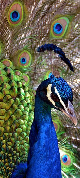 This is one of my most popular animal photographs, I have cropped it in a vertical format, for those long awkward walls that would want to see a lovely peacock on. =) #vertical #peacock