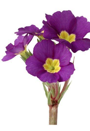 Primevère  Aimons-nous l'espace d'un printemps Dans le langage des fleurs, la primevère symbolise la jeunesse,le renouveau ou encore un amour naissant.   Primevère blanche : Je t'aime d'un amour pur et idéalisé. Primevère bleue : Je t'aime tendrement. Primevère mauve : Innocence d'un premier amour. Primevère rose : Premier amour chaste.