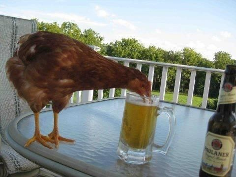 The perfect picture would have been if the beer was Old Speckled Hen....  Animals Being Straight-Up Jerks 26 - https://www.facebook.com/diplyofficial