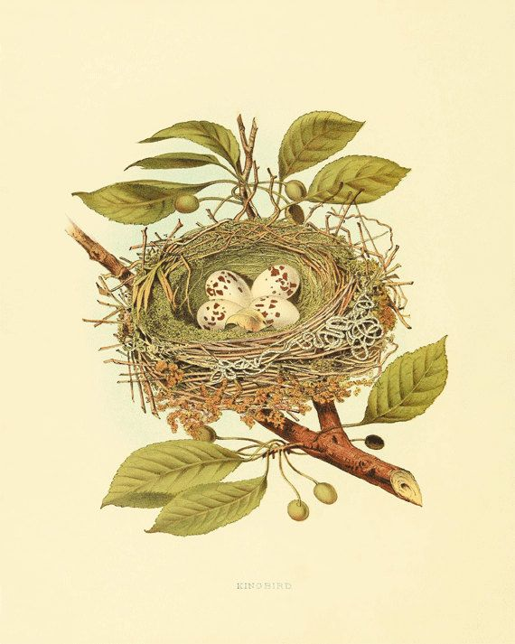 Bird nest art Vintage Bird Print Nature print by AntiqueWallArt, .00