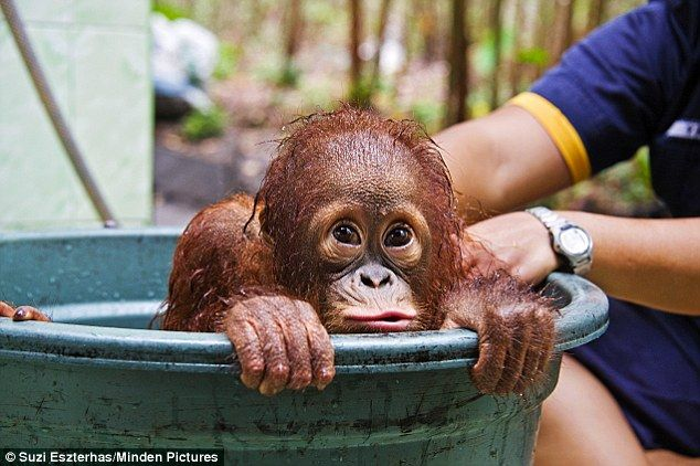 Adorable orphan ape Mr Bernie does all he can to avoid getting his fur wet in bath in Borneo... Please help this orphans and donate to Sumatran Orangutang Society ...   www.orangutans-sos.org/ Sumatran orangutans are critically endangered. Habitat loss and poaching are pushing them towards imminent extinction.