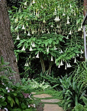 Brugmansia  This small tree sports large hanging flowers that open for a week at a time with the full moon. Though hardy only to zone 8, Brugmansia 'Cypress Gardens' is ideal for containers and can be overwintered inside.  I have one!