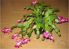 Still have grandma's Christmas cactus? Ed Hume shares how to care for one, plus how to force blooms. #christmascactus #garden #holiday