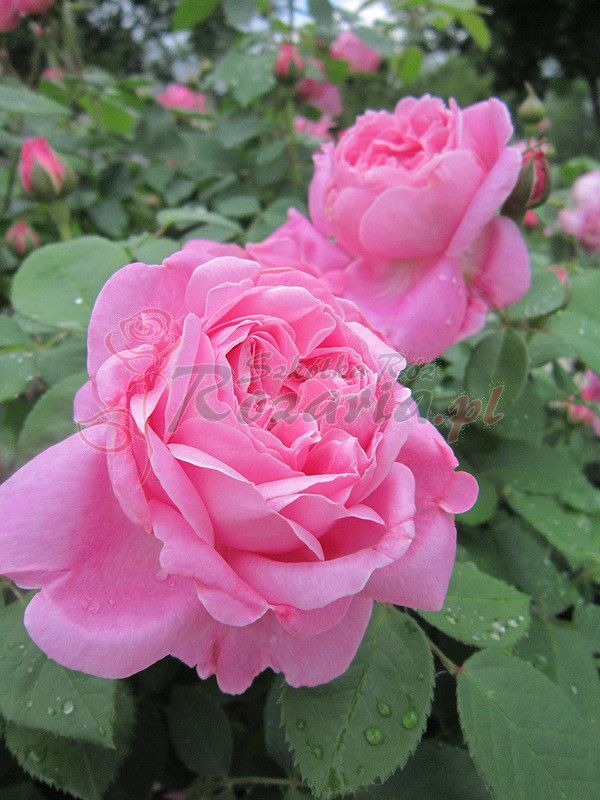 pachnące róże angielskie AUSmary - Szkółka Róż Rozaria