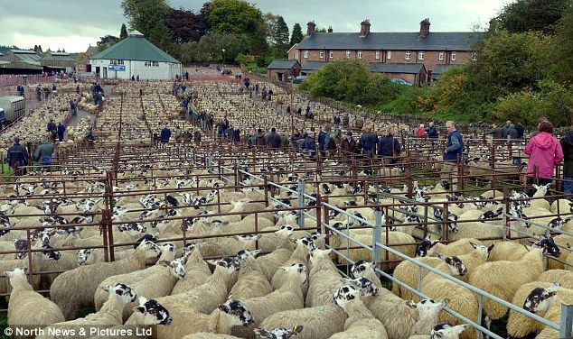 Lazonby Sheep Sale 2013