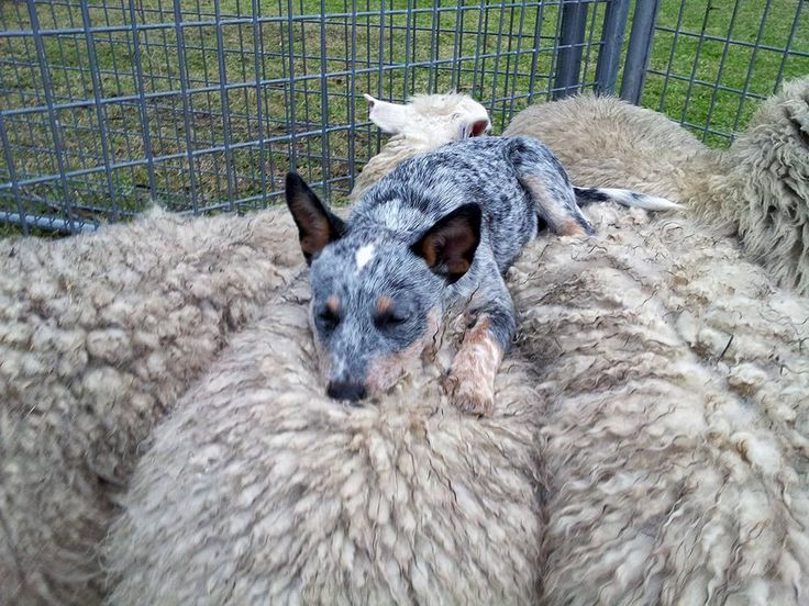 """Chooey"" an Australian Cattle Dog rescue in New South Wales, napping on fluffy sheep on her final day at the resuce before heading to her adoptive home."