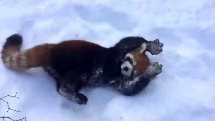 A couple of happy little Chinese red pandas roll around and play in the snow at the Cincinnati Zoo and Botanical Garden, just like they did last year. The zoo's executive director, Thane Maynard, e...