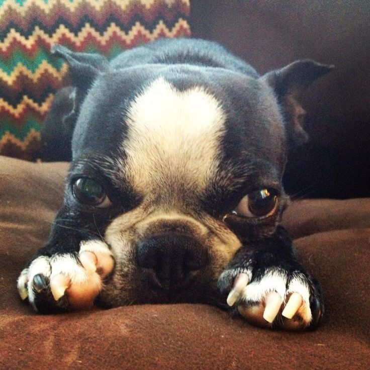 Here's my rescued Boston Terrier, Bea. She always sleeps with her paws in front of her face. - submitted by Raelynn Z.