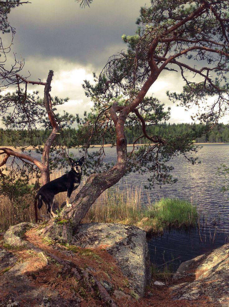 Hiking with dog. Lapponian herder, Räpsy. Finland, Koskeljärvi. Photp by @virpula1