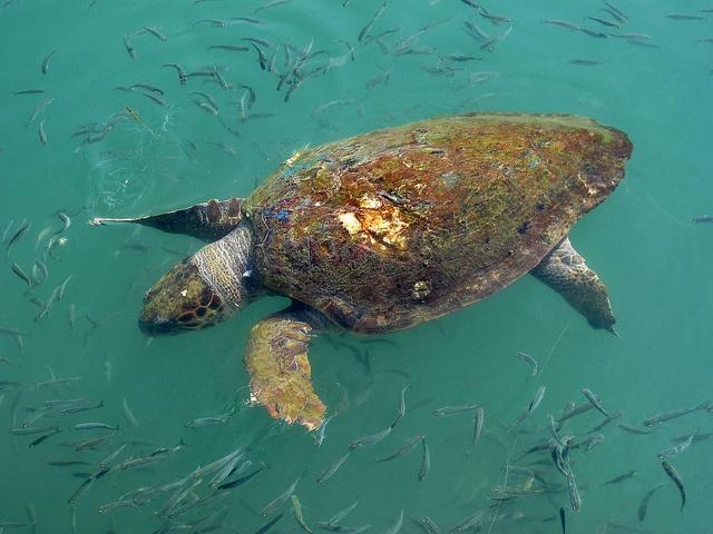 Loggerheaed Turtle in the Argostoli Harbour, Kefalonia.