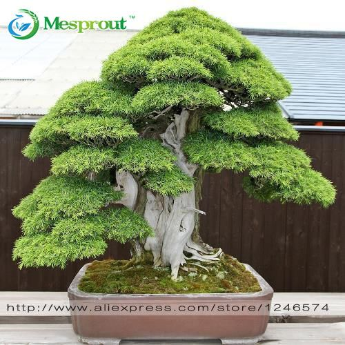 Bonsai seeds 30 pcs Japanese Red Cedar - Cryptomeria japonica seeds - Bonsai Tree Evergreen Bonsai Home gardening, free shipping -- Click image to review more details.
