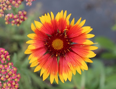 Gaillardia or Blanket flower, plant bought long time ago.  Short and bushy, perfect for front of the Perennial border.