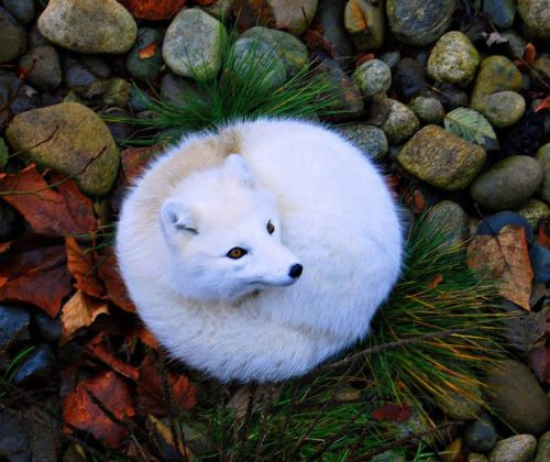 Cute fluffy fox all curled up