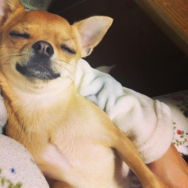 #愛犬#チワワ#スムチー#保護犬#元保護犬#myname#is#guri#ふわもこ部#親バカ部#ちわすたぐらむ#Chihuahua#chihuahuastagram  ヤンチャで 困ることもたくさんだけど この寝顔に癒される☺︎ いつもお留守番ありがとう♡