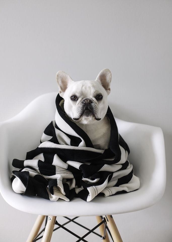 Theo #frenchbulldog
