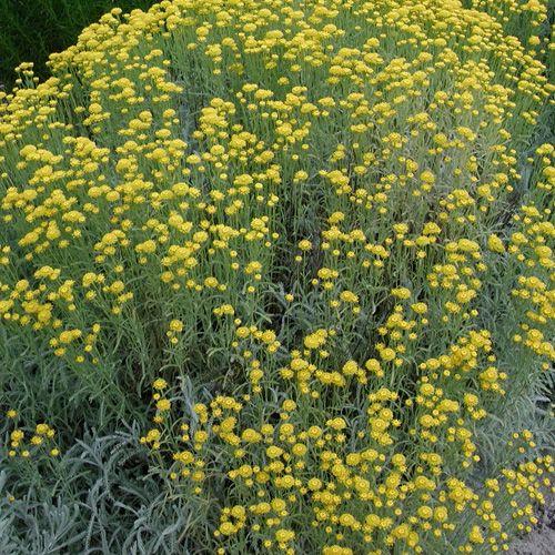SANTOLINA pinnata ssp. neapolitana (Santoline) : Arbuste à feuillage persistant, aromatique, bien adapté aux expositions chaudes, aux sols maigres et caillouteux. Massif, bordure. Feuillage très fin, argenté. Fleurs jaunes.