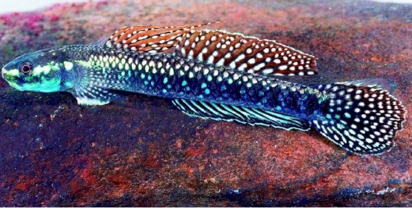 Stiphodon julieni freshwater fish pinterest fish and for Freshwater goby fish