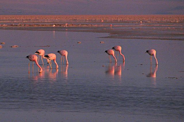Reserva Nacional Los Flamencos - Salar de Atacama (Chile)