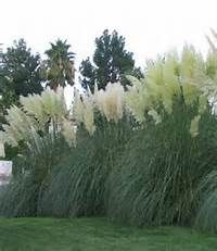 52 best images about oriental grasses on pinterest for Tall oriental grass