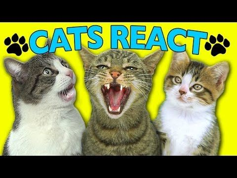 CATS REACT TO VIRAL VIDEOS  https://www.youtube.com/watch?v=VSpFRcTeUQ4&feature=youtu.be