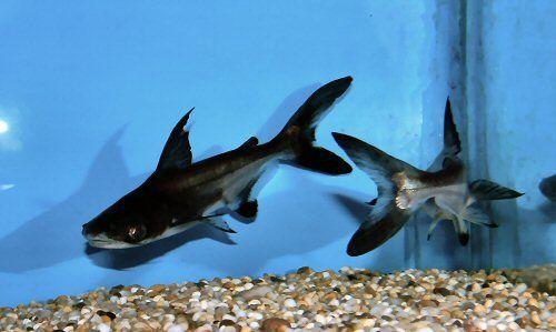 Pangas vláknoploutvý (Sladkovodní žralok, Sumeček sanitwongsei)