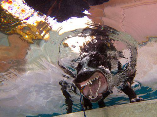 Bark: Animals, Funny Dogs, Stuff, Barking Underwater, Posts, Underwater Dogs, Dog Photography