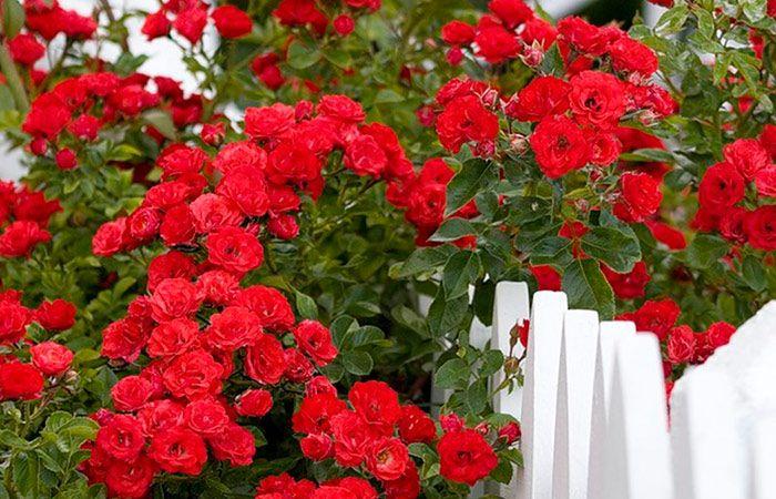 Правильная обрезка плетистой розы Плетистые розы нуждаются в правильной обрезке, цель которой – формирование, получение долгого и обильного цветения, оздоровление кроны. Обрезка также помогает получить сплошное покрытие растения...
