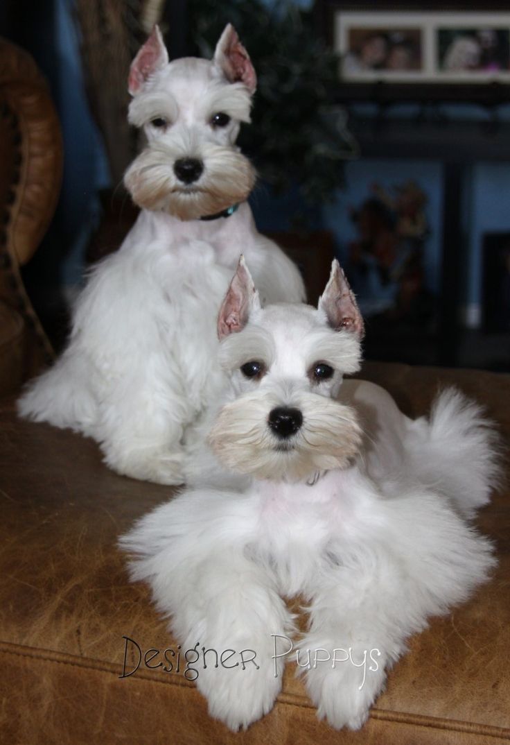 ✨White Teacup Schnauzers absolutely adorable (I know they come in Miniature, Standard, and Giant; but Teacup?)