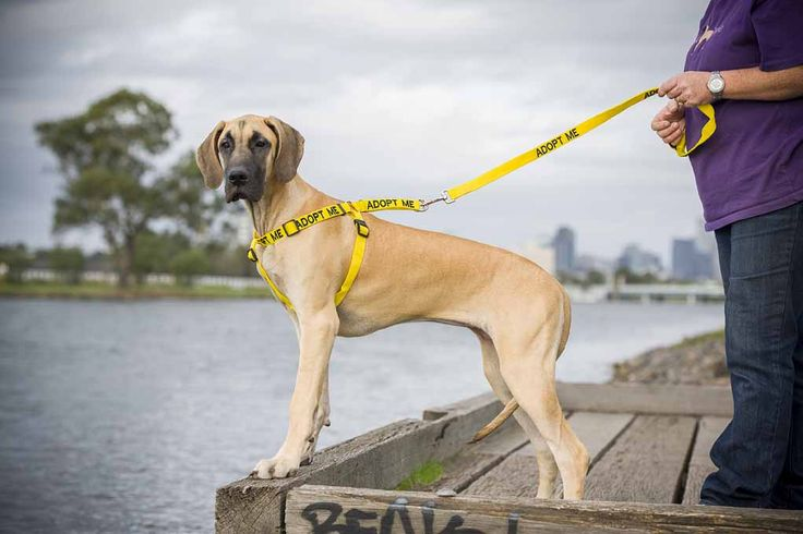 The ADOPT ME range bright yellow lead and harness inform the public that a rescue dog is looking for a forever home | Model: Great Dane