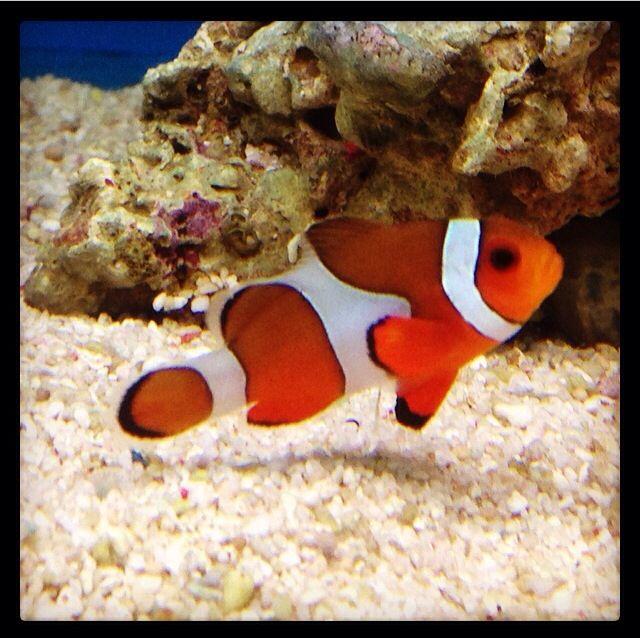 Nemo ❤️ Clownfish at Stratford Garden Centre