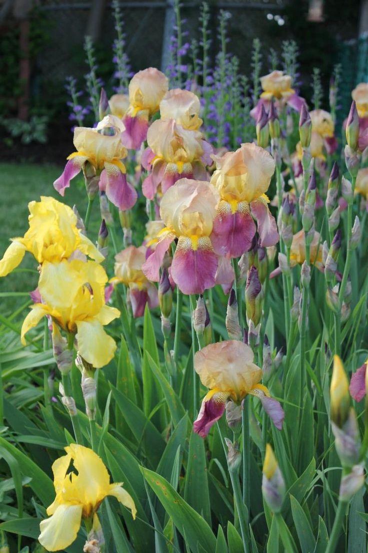 Zone 5b - Iris and False Indigo are blooming! #gardening # ...