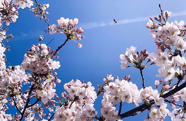 Spring Has Began With Gorgeous Cherry Blossoms Here In Holland Cherryblossom Cherryblossomtree H Cherry Blossom Festival Cherry Blossom Tree Cherry Blossom