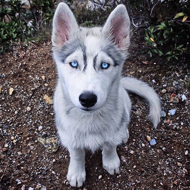 Beautiful husky 😍 x x x x x #lux #luxury #money #rich #travel #traveler #worldtraveler #beach #beaches #sunset #sunsets #sportscar #sportscars #luxuryhouse #luxuryhouses #class #status #luxurylife #luxuryhomes #cute #luxurylifestyle #blueeyes #luxuryfashion #beautiful #dog #cash #husky - posted by DEBONAIRCEO https://www.instagram.com/debonairceo - See more Luxury Real Estate photos from Local Realtors at https://LocalRealtors.com/stream
