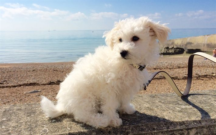 Download wallpapers Bichon Frise, Small fluffy dog, cute animals, white dogs, decorative dogs