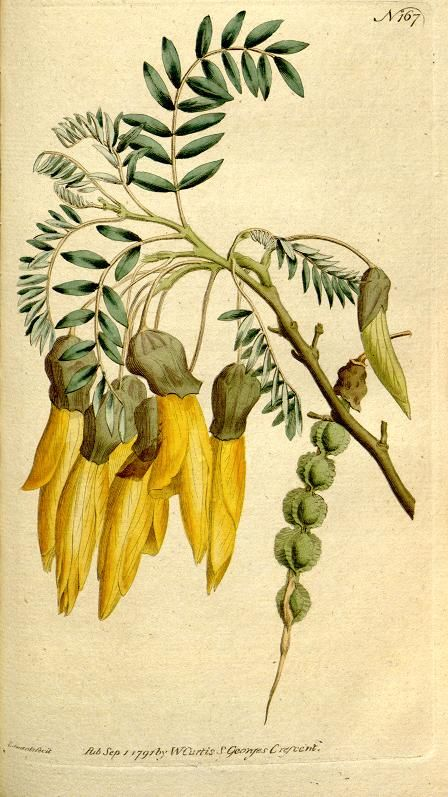 Sophora tetraptera. The Botanical magazine, or, Flower-garden displayed v.5-6 (1792-1793). [S.l. :s.n.],1790-1800. Biodiversitylibrary. Biodivlibrary. BHL. Biodiversity Heritage Library