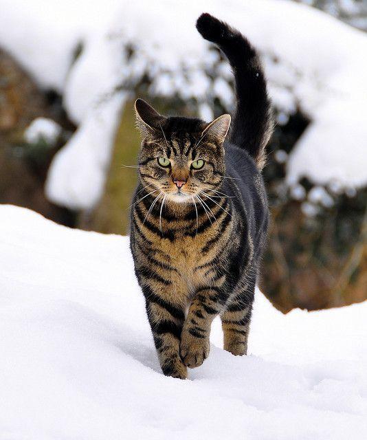 Norwegian Forest Cat in Snow by Terje Håheim (thaheim), via Flickr