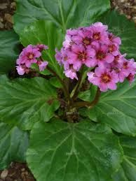 Bergenia purpurascens