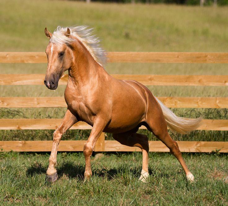 Palomino Horses | Author Roast & Toast: A secret castle Birthday Celebration, with Linda ...