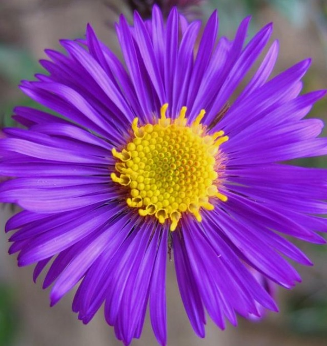 Rich dark purple Aster flower