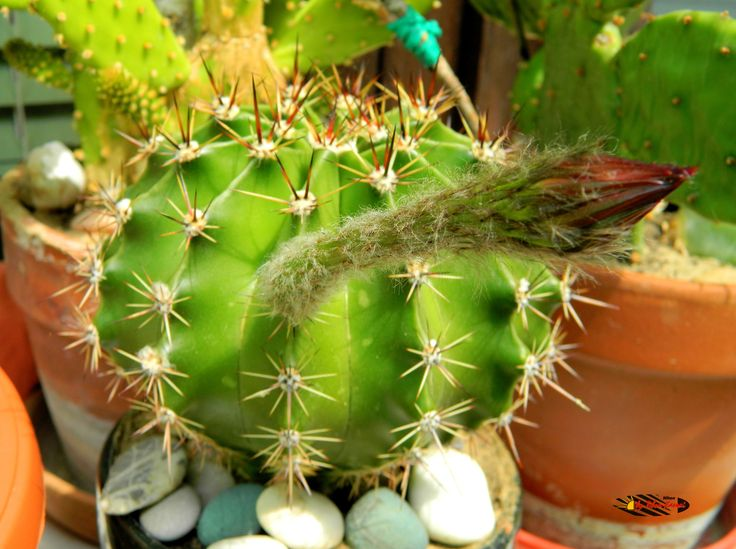 Ferocactus flower, my balcony, the flower lasts only one day :( , Nikon Coolpix L310, 8.4mm, 1/100s, ISO80, f/3.6, -0.3ev, HDR photography, 201706101415