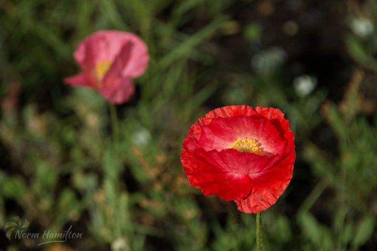 https://flic.kr/p/HNzaA4 | poppy3006_web | Brilliant Red Poppy Stands Forth A brilliantly-colored red poppy stands forth in the flower bed.