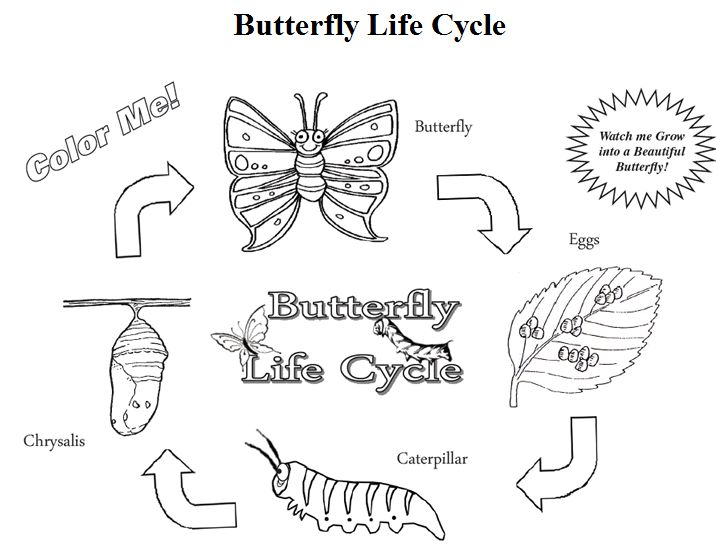 Here Is A FREE Butterfly Life Cycle Coloring Page For Your Science