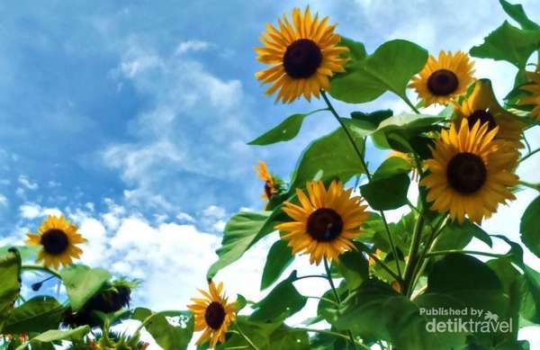 Seperti Di Luar Negeri, Kebun Bunga Matahari Di Kediri - http://darwinchai.com/traveling/seperti-di-luar-negeri-kebun-bunga-matahari-di-kediri/