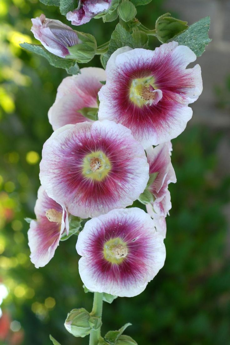 Hollyhock 'Creme de Casis' has a raspberry colored center and a yellow throat.