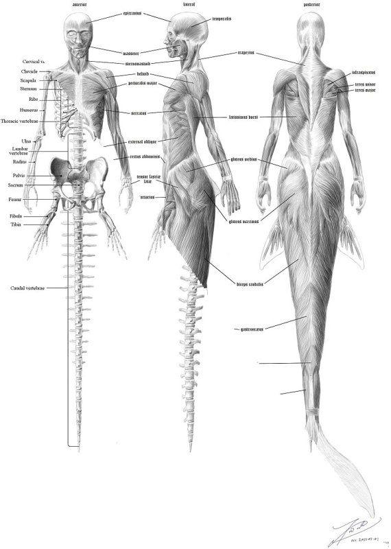 Mermaid anatomy  skeleton English & musculature by TimCookArt, $12.75